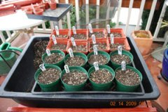 Seed Starting-Scatter 10-15 Seeds on Each Pot
