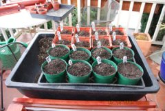 Seed Starting-Cover Seeds With Sifted Potting Soil