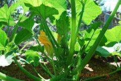 Growing Squash—'Sunburst' Patty Pan