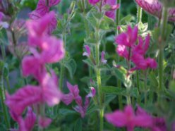 Salvia 'Marble Arch'