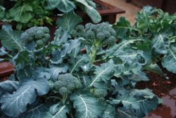 This 'Arcadia' Broccoli Produced Side Shoots Almost as Large as Regular Broccoli Heads 3