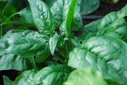 Harvest Spinach Before it Starts Bolting