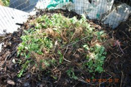 Spearmint Leaves and Runners in the Middle of a Hot Compost Pile