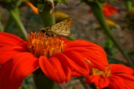 Butterfly on Mexican Sunflower (Tithonia)
