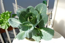 Growing Cabbage in Containers–'Kaitlin'