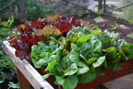 'Lolla Rossa' and 'Flashy Troutback' Lettuce in a Salad Tray