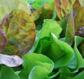 SaladScape of 'Santoro' and 'Mervielles des Quatre Saison' Lettuce