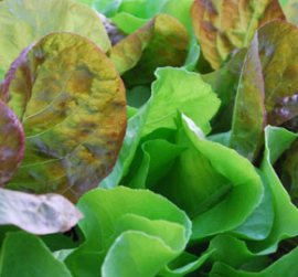 SaladScape of 'Santoro' and 'Mervielles des Quatre Saison' Lettuce