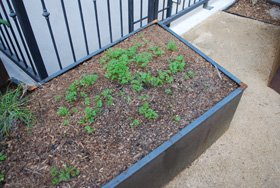 Balancing a carrot bed, before, seedlings clumped together