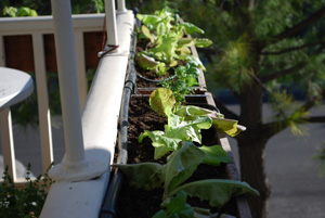 Planting lettuce in a window box