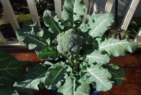 Broccoli Top View 1