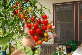 Growing Tomatoes in Containers,'Sweet 100'
