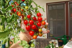 Cherry Tomato Varieties—'Sweet 100' 2
