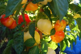 Growing Peppers—'Alma' Paprika 2