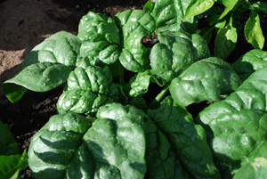 Growing Spinach—'Regiment'
