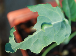 Imported Cabbage Worm Leaves the Scene of the Crime