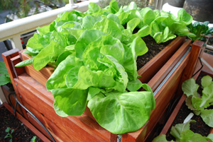 'Torenia' Butterhead Lettuce in a SaladScape
