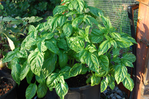 Mammoth Salad Leaf (Napolitano) Basil Growing in a 4-gallon Pot