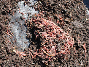 After the Sun has Driven the Worms to the Bottom of Each Mound, Scrape the Worm Castings off the Top, and Place the Worms in a New Worm Bin