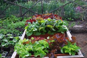 Salad Bench with Salad Trays—Ready to Harvest