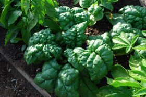 Semi-Savoy Spinach Variety 'Tyee'