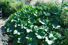 Two—Yes, Two—'Bonbon' Winter Squash Plants