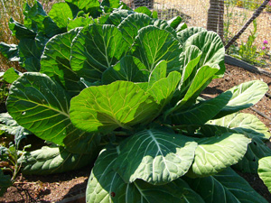 'Georgia' Collards