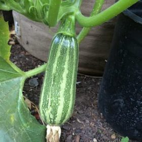 'Bush Baby' zucchini are well-proportioned even at small sizes, they're perfect for growing in containers.