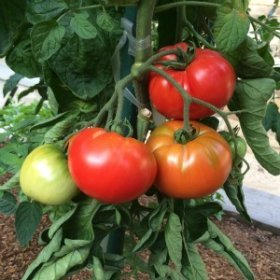 Heirloom Tomato Varieties—'Pantano Romanesco'