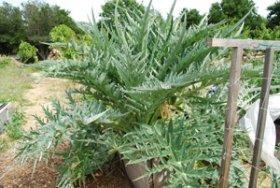 Artichoke Plant 1