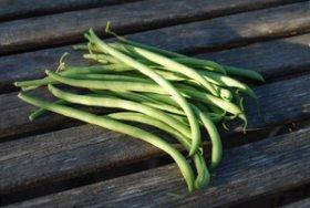 'Maxibel' Bush Beans