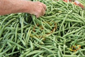 Bush Bean-'Contender', one of the best bean varieties for cool-summer gardens