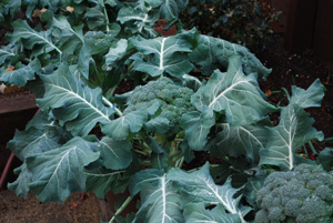 Broccoli Varieties—'Blue Wind' 2