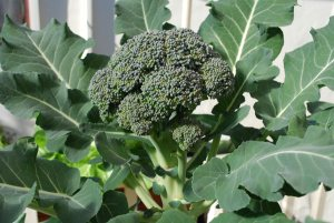 Growing Broccoli—'Arcadia' 1