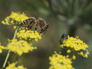 Honeybee and Parasitoid Wasp on Dill