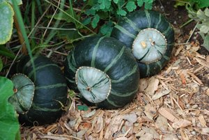 Winter Squash Varieties—'Bonbon' Buttercup