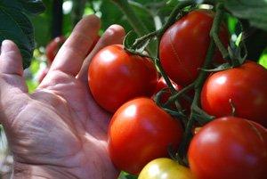 Tomato Varieties—'Sweet Cluster'