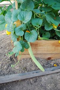 Cucumber Varieties—'Sweet Armenian'