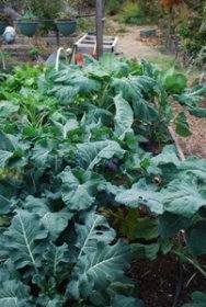 Broccoli and Mixed Brassicas Bed