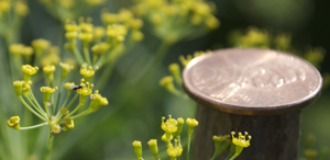 Aphid Wasp on Dill Flowers—Size Comparison