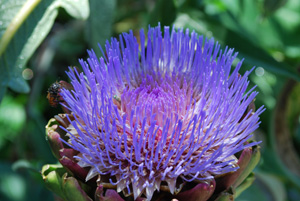 Artichoke Flowering 1