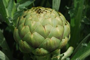 'Globe' Artichoke from Page's Garden