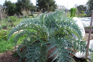 Artichoke Plant 2