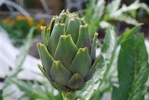 Artichoke Varieties—'Violetto'