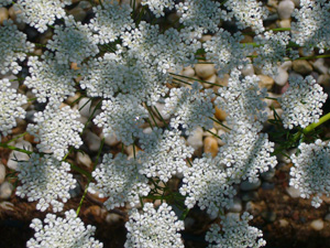 Abundant, Tiny Flowers Provide Nectar Sources for Parasitic Wasps—Ammi major (Bishop's Lace)