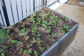 Balancing a carrot bed, after, seedlings spread out evenly over the bed