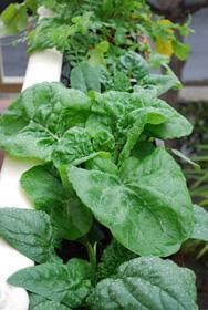 'Zen Green' Growing in a Window Box
