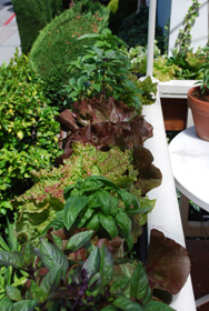 Lettuces and Basil Growing in a Window Box 4