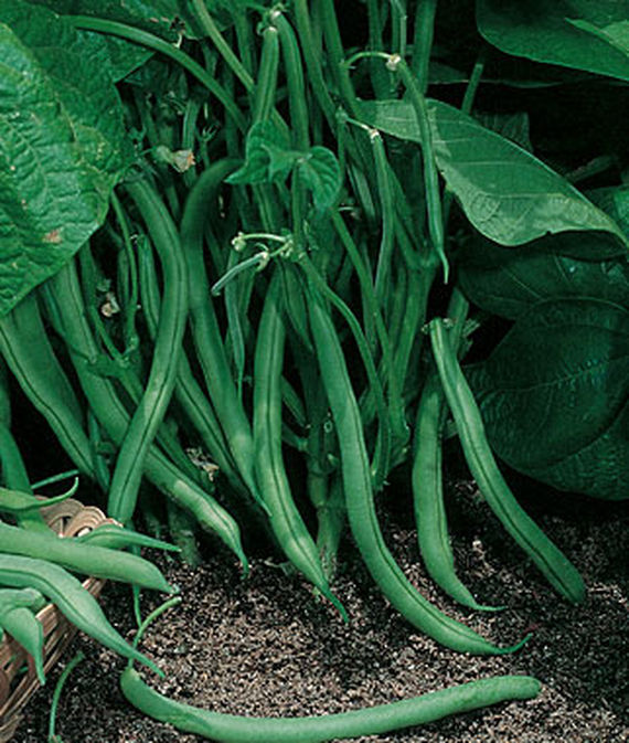 seeds heavy yields of tender /& meaty beans ORGANIC Blue Lake Pole Beans OP 50