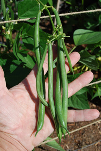 'Jade' Green Beans on the Vine
